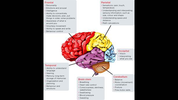 <p>Regions of the brain and what they control</p> <p> </p>